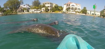Kayaking with Manatees at North Jetty Rentals