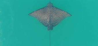 Drone: Spotted Eagle Ray in the Inlet between Nokomis and Venice Florida